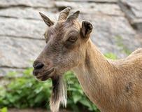 Das große Bild eines Kopfes einer braunen Ziege Stockfotos