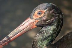 Das große Bild eines schwarzen Storchs Stockbild