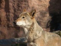 Das große Bild eines stehenden Wolfs Lizenzfreies Stockbild