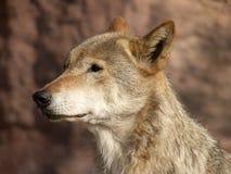 Das große Bild eines stehenden Wolfs Stockfotografie