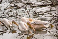 Das große onocrotalus Pelecanus weiße Pelikane der Menge, alias der östliche weiße Pelikan oder rosiger Pelikan Stockbilder