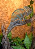 Das große und schöne Chamäleon, welches auf das Abendessen an der Ausstellung wartet lizenzfreie stockbilder