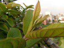Das Guavenblatt lizenzfreies stockbild