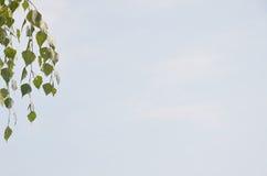 Das Hängen verzweigt sich mit grünen Blättern gegen blauen Himmel Stockbilder