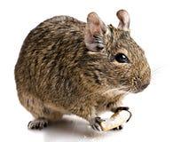Das Hamsterkauen backen Lizenzfreie Stockbilder
