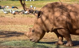 Das Haupt- und die Schultern eines weißen Nashorns stockfotografie