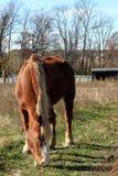 Das hellbraune Pferd ist in der Wiese allein stockfoto
