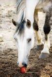 Das hellgraue Pferd Lizenzfreies Stockfoto