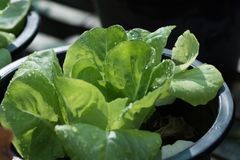 Das heranwachsende Gemüse lizenzfreie stockbilder