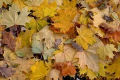das Herbstblatt Stockfotos