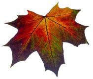 Das Herbstblatt lokalisiert auf einem weißen Hintergrund stockbild