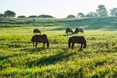 Das Herden-Pferd auf der Wiese Lizenzfreie Stockbilder
