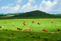 Das Herdenvieh in der Steppe Lizenzfreie Stockfotografie