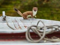 Das Hermelin ist auf einem Boot geklettert Lizenzfreies Stockbild