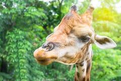 das herrliche Giraffengesicht im Baum- und Waldhintergrund Lizenzfreie Stockbilder