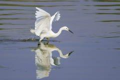 Das Herumsuchen im Teich Lizenzfreie Stockfotos