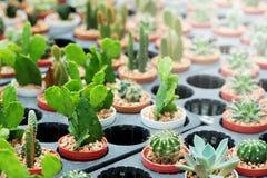 Das Hobby, das mit vielen des Sprösslingskaktus im Kindertagesstättengarten für Verkauf im Garten arbeitet, verdienen Geld Lizenzfreie Stockfotografie