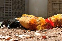 Das Huhn im Sand. Stockfotos