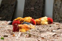 Das Huhn im Sand. Lizenzfreies Stockfoto