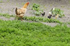 Das Huhn kümmert sich die um Hühner stockbild