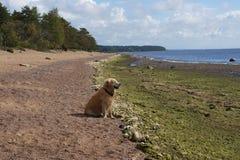 Das Hunderassegolden retriever, das auf dem Strand und den Blicken in den Abstand in dem Meer, schielend gegen die Sonne sitzt Lizenzfreie Stockbilder