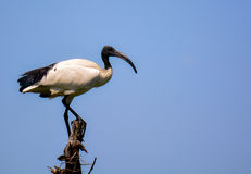 Das IBIS Stockfotos