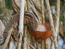 Das indische Palmeneichhörnchen lizenzfreies stockfoto