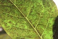 Das Innere des Blattes mit Streifen und braunen Stellen ist die Beschaffenheit Lizenzfreie Stockbilder