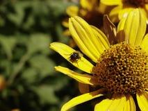 Das Insekt auf dem Blütenstand Stockfotografie