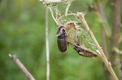 Das Insekt eine Puppe eines Schmetterlinges auf einer Niederlassung Stockfoto