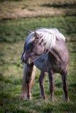Das isländische dieses Pferd Leben geben frei Lizenzfreie Stockfotografie