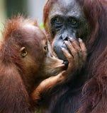Das Junge des Orang-Utans küsst Mama. Stockbild
