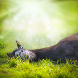 Das junge Pferdelügen und der Blickspaß auf Hintergrund des grünen Grases und Natur mit Sun strahlt aus Lizenzfreies Stockbild