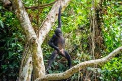 Das Junge von Bonobo scherzt in Niederlassungen von Bäumen Natürliche Zustände der Wohnung Der Junges Bonobo auf einem Baumast Sc Lizenzfreies Stockfoto