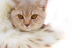 Das Kätzchen wird oben in einer Boa eingewickelt Stockfotografie