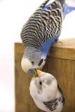 Das Küken und das budgie sind in einem Nest auf weißem Hintergrund Stockfotos