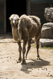 Das Kamel Lizenzfreie Stockfotos