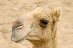 Das Kamel. Lizenzfreies Stockbild