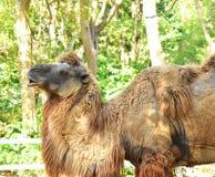 Das Kamel auf dem offenen Zoo stockbild