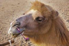 Das Kamel in der Wüste Lizenzfreie Stockbilder