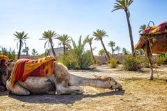 Das Kamel liegt in einem Palmeraie nahe Marrakesch, Marokko Die Sahara-Wüste wird in Afrika aufgestellt Dromedars bleiben im Sand stockfotos