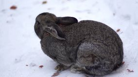 Das Kaninchen essen im Schnee stock video