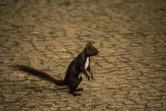 Das kaukasische oder persische Eichhörnchen (Sciurus anomalus) stehend auf seinen Hinterbeinen auf einem grauen rauen Stein pflas Lizenzfreie Stockfotos