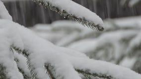 Das Kiefer brench mit vielem Schnee stock footage