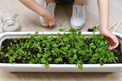 Das Kind berührt leicht die Trieb des Grüns stockfoto