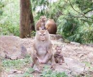 Das Kind eines Affen und seiner Mutter, Affe im Wald, Phuket-tha Stockbild