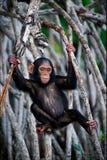 Das Kind eines Schimpansen. Stockfoto
