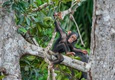 Das Kind eines Schimpansen spielt auf dem Baum Schimpansen (manchmal genannt Schimpansen) (Pan-Höhlenbewohner) Lizenzfreies Stockfoto
