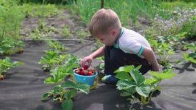 Das Kind sammelt rote Beere Victoria Bricht leicht die Beere und setzt sie in einen Kind-` s Eimer ein Ernten im Garten stock video