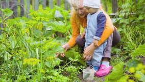 Das Kind und die Frau, die Ernte von Gurken überprüfen stock footage